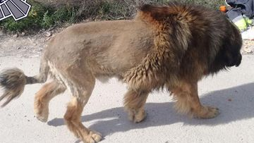 A large animal has caused panic in Spain after people thought there was a lion on the loose.