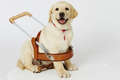 <p>Those who refuse entry to guide dogs often don't realise that they're working animals, not pets.<br></p>