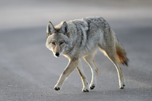A Florida local fought off a wild coyote using a coffee thermos, while out on a walk near his Lake County home on Friday.
