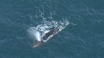 Rescue crews are working to free a whale trapped in rope off the coast of Victoria.