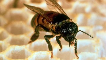 An Africanised, or killer bee.