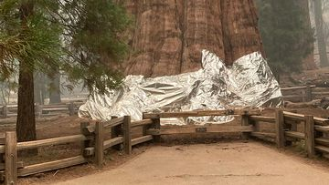 World's tallest tree wrapped in protective foil as wildfires near