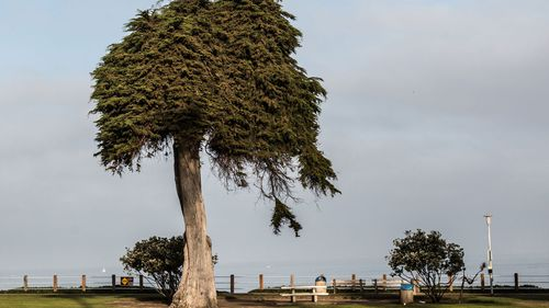 The tree thought to have inspired Dr Seuss' 'The Lorax' has fallen