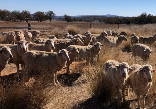 Farmers hit by the drought are facing tough choices between selling stock or continue feeding. (Photo: Supplied).