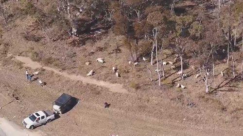The goats grazing near Mudgee.
