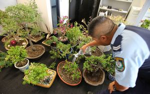 Two men charged after up to $40k worth of bonsai plants 'stolen from local homes and sold to buy drugs'