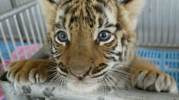 "The Chinese government has legalised the use of endangered tiger and rhino products for ""medical"" purposes."