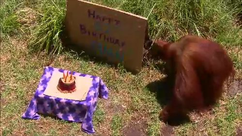 Puan is thought to be the oldest Sumatran Orangutan in the world. (9NEWS)