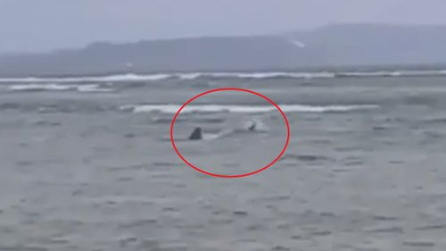 The shark was spotted metres from the shore.