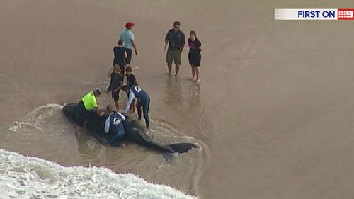 The calf is believed to be a few days old. (9NEWS)
