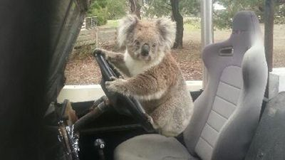 It may not have shocked the scientific world, but for one Australian teenager it was a surprising discovery. A koala was found trying to drive a car.