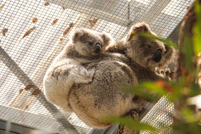 Koalas relocated to Taronga Zoo during the bushfire crisis.