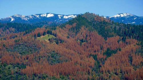 Dead tree epidemic could spark massive US firestorm