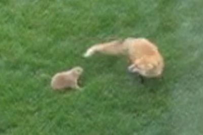 Boxing prairie dog fights back attacking fox