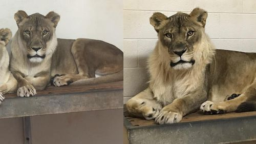Bridget the lioness' mane growth is considered rare. (AP)