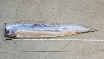 The long fish has a flat head and bulbous eyes so it can see in the dark waters of the deep ocean.