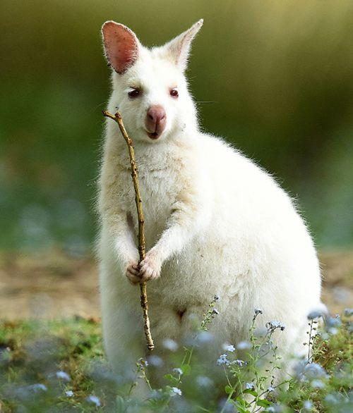 A rare white wallaby on Bruny Island, Tasmania. (AAP)