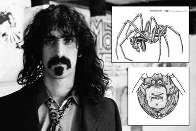 Pachygnatha zappa is an orb-weaver spider named for the black marking under its abdomen that's curiously reminiscent of Frank Zappa's mustache.