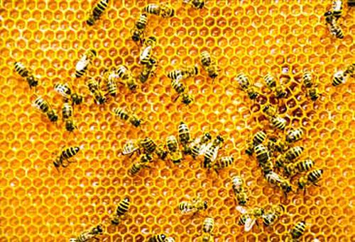 Bees (Getty)