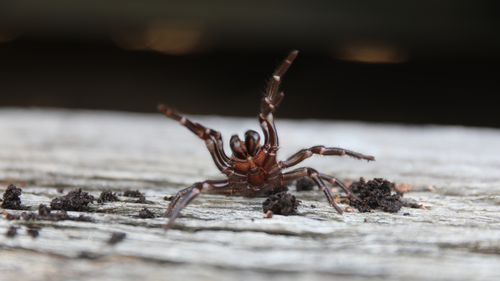 Deadly funnel-web spiders the latest threat for Australia following fires, floods
