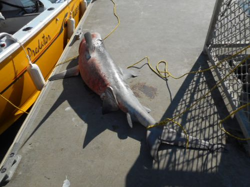 Ken Madsen and his grandson helped drag the giant bull shark  off the tinny and onto the pontoon.