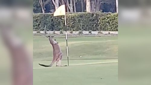 The kangaroo was one of many that hop around the golf course. (Bettina Hammant)