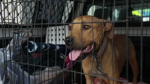 This dog was one of 56 taken into care. (Image courtesy of RSPCA Queensland)