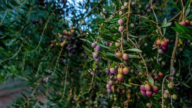 Olives on the tree at Cobram Estate Boundary Bend
