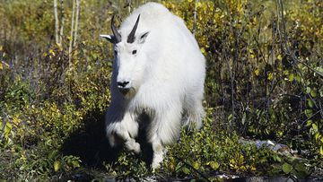 File photo: A mountain goat is the prime suspect in the bear's death.