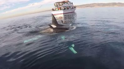 """<p>A California paddleboarder has ticked seeing Orca whales in the wild off his bucket list after managing to capture a """"magical"""" encounter with the creatures on video.</p><p>  Paddleboard enthusiast Rich German was off the coast of Laguna Beach in early January when he came across five Orcas, more commonly known as Killer Whales. </p><p>  """"I've been paddleboarding off the coast of Laguna Beach for years now, pretty much every day,"""" Mr German says. </p><p>  """"I'd heard the day before there was a small pod of Orcas off of Long Beach heading south and I took a shot that it might be them, and to my great delight and amazement, it was."""" </p><p>  Despite their reputation, Mr German said he wasn't afraid. </p><p>  """"The truth is, I was too excited to be scared … This was an amazing, magical afternoon."""" </p><p>  As beautiful as they are, Orcas can be awe-inspiring creatures. </p><p>  Check out this gallery to see why. </p><p></p>"""
