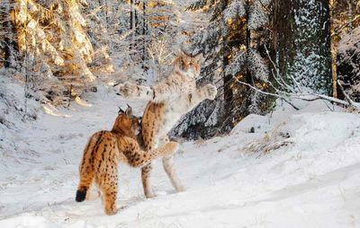 Kitten Combat by Julius Kramer