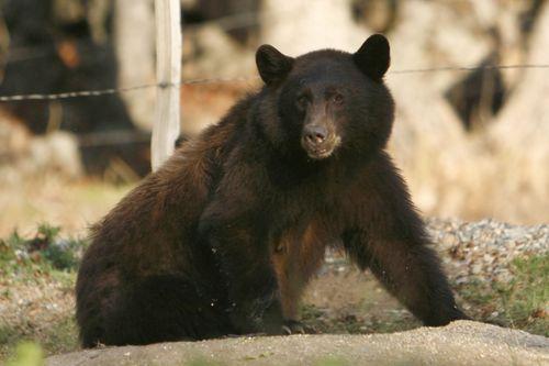 A California black bear roams in Three Rivers, California.