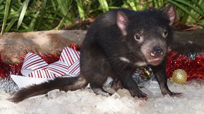 """Tasmanian Devils warm to all keepers that raise them, forming an inseparable bond,"" Australian Reptile Park mammal's keeper, Andrew Daly, said. <br /> <br /> Daly helped raise Marley and Moose since they were babies. (Source: Australian Reptile Park)"