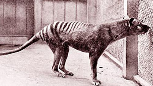 The last known live thylacine died in captivity in 1936.
