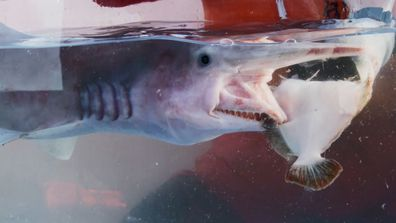 Goblin sharks have an incredibly powerful and fast bite.