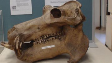 A number of rare animal skeletons have been stolen from Sydney University.