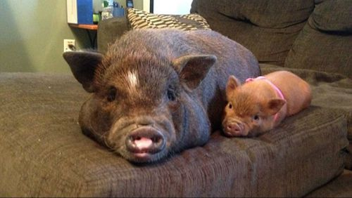 Hobey pictured with another smaller pet pig named Claudette. (Facebook, Rachel Boerner)