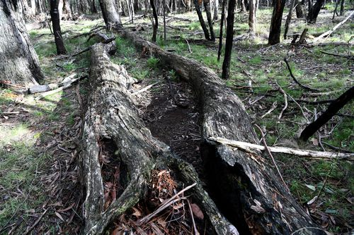 Mrs Ristevski's body was found between these two fallen trees in Macedon Regional Park. Picture: AAP
