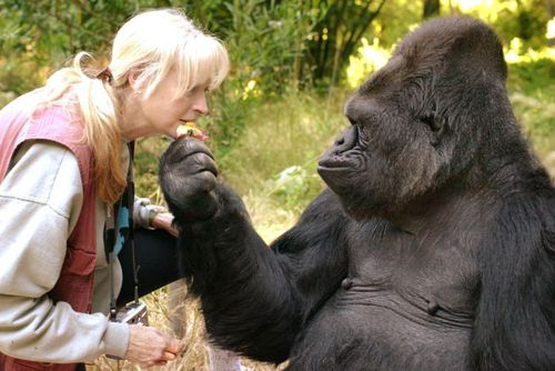 Koko and her beloved Dr Francine Patterson who taught her sign language. The internationally loved gorilla has died aged 46. (AAP)