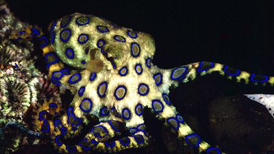 Man treated for octopus sting in Qld