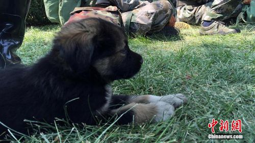 Shenghua, rescued from the site of the Tianjin port explosions. (Chinanews.com)