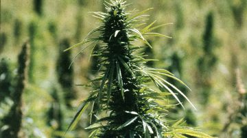 Medical marijuana is looking more likely to be introduced in NSW. (AAP)