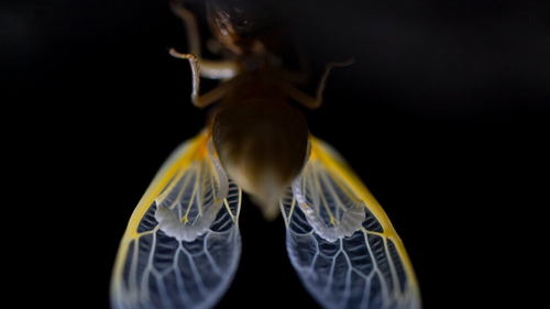 Translucent wing of an adult cicada just after shedding its nymphal skin