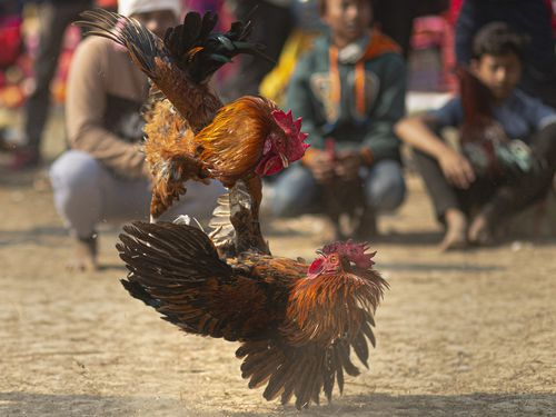 Man killed by blade-wielding rooster during illegal cockfight