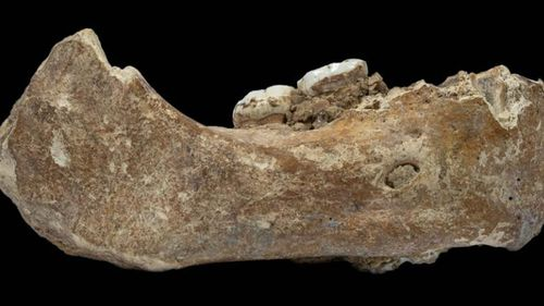 The jawbone fossil has two very large molar teeth similar to Denisovans. (Dongju Zhang, Lanzhou University)