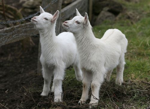 Geep This and That are believed to be the hybrid offspring of female goat Daisy and a Cheviot ram. (AAP)