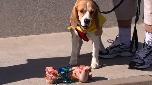 Snoopy the beagle. (9NEWS)