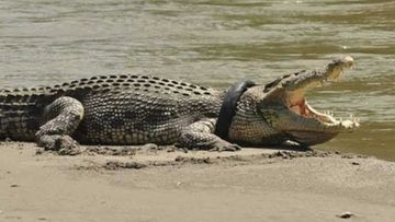 The crocodile with a tyre around his neck.