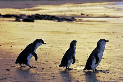 <strong>Watch penguins waddle home</strong>