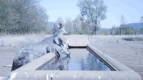 A NSW farmer installed a camera at his water trough.
